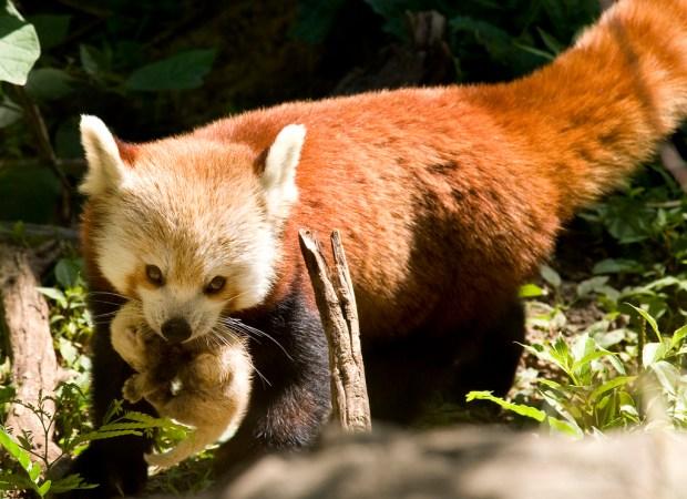 Red Panda Mom Shares Baby Pics