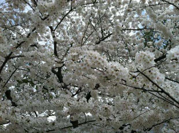 Chuck Bell's Cherry Tree Tracker