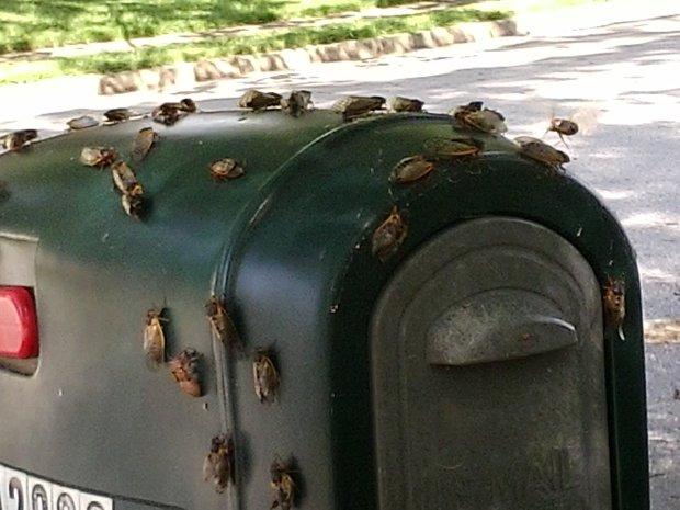 Cicadas Arrive!