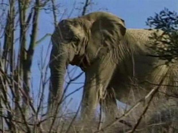 [LA] Elephants (Raw Video)
