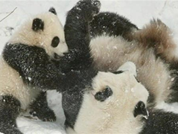 [DC] Panda Baby Pictures