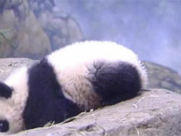 [DC] Tai Shan Birth to One Year Old