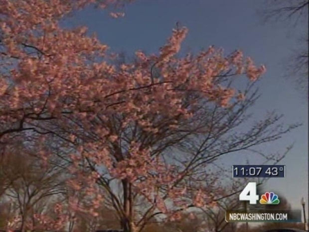 [DC] Predicting Cherry Blossom Blooms