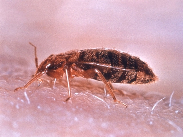 "[CHI] Bed Bugs ""Gross"" but Not Dangerous, Expert Says"