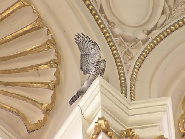 [DC] Hawk Rescued in Library of Congress