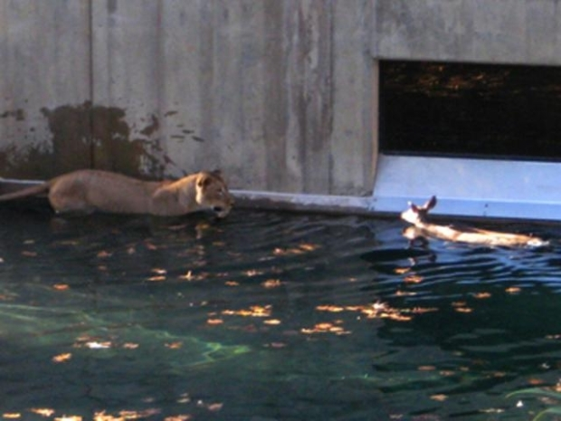 [NATL] Baby Deer Escapes Lions at the National Zoo