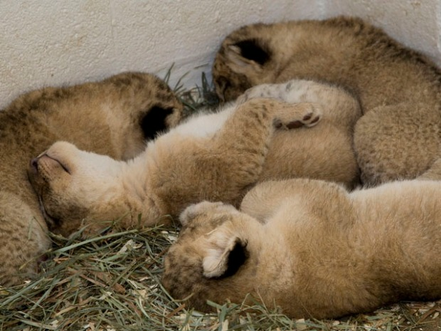 Lion Cubs: A Birthday Retrospective