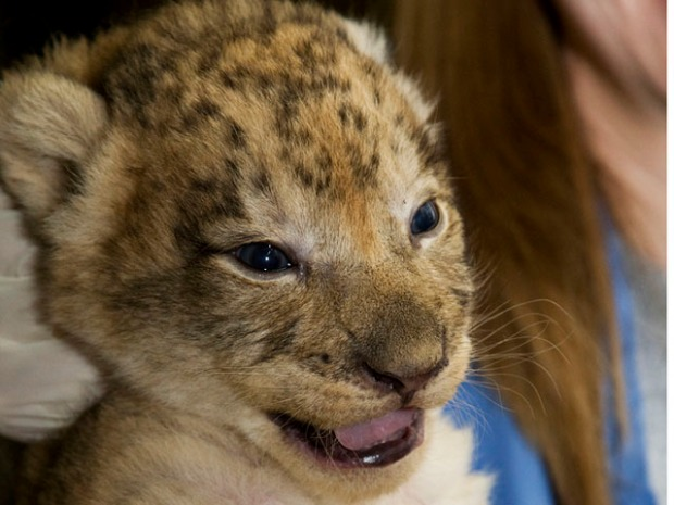 Smithsonian Lion Cubs Receive Names
