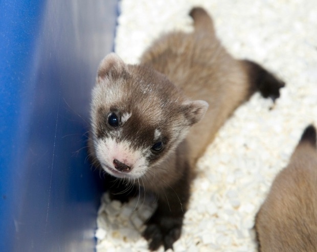 Ferret Baby Boom at the Zoo
