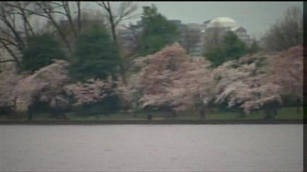 [DC] Cherry Blossoms Given Shorter Bloom