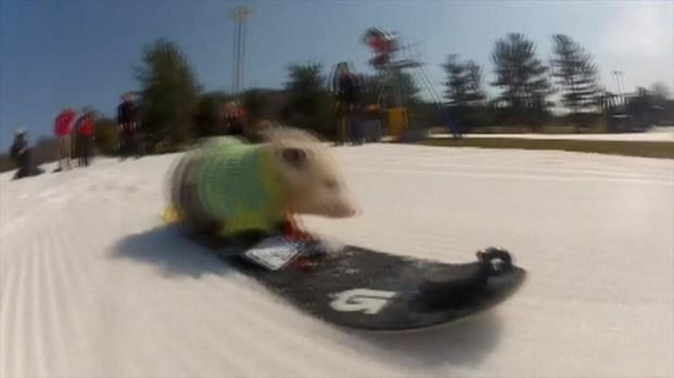 [DC] Snowboarding Opossum Goes Viral