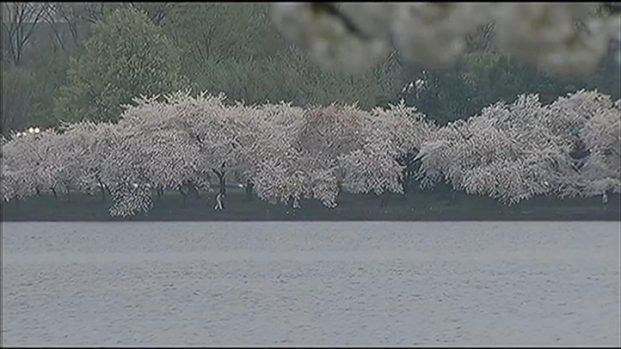 [DC] First Day of Spring Brings Peak Bloom