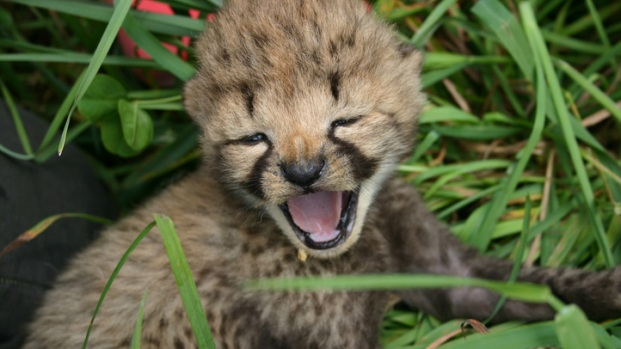 Cheetah Mom Shares New Baby Pics