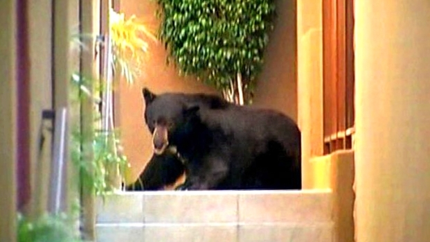 [NEWSC] How to Move a 400-Pound Bear