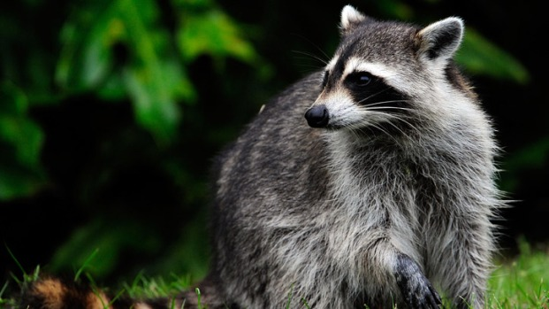 [DC] Raccoon Attacks Jogger on C&O Trail