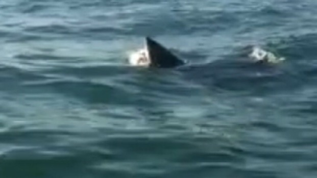 [NATL-PHI] Caught on Cam: Shark Eats Dolphin