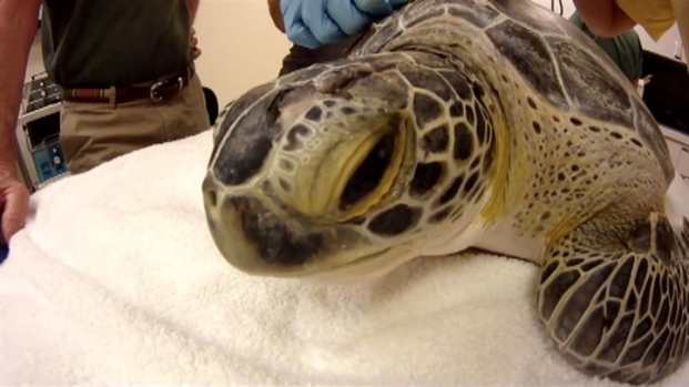 [NATL-MI] Florida Keys Dentist Mends Endangered Green Sea Turtle's Shell
