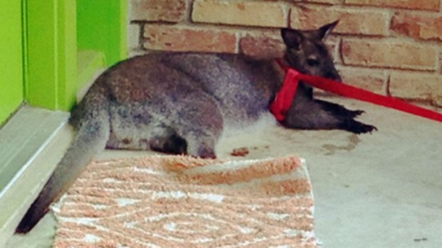 Wall-E the Wallaby's Big Break
