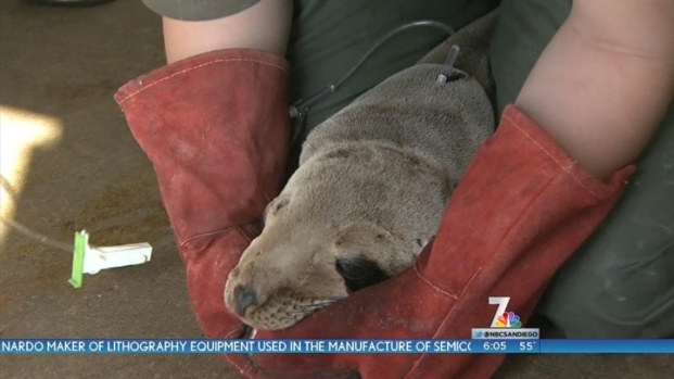 [DGO] Spike in Sick Sea Lions a Mystery