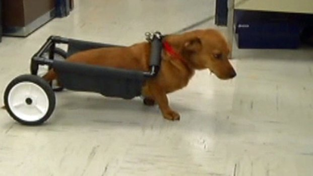 [NATL-DFW] Paralyzed Dog Walks Again With Wheels
