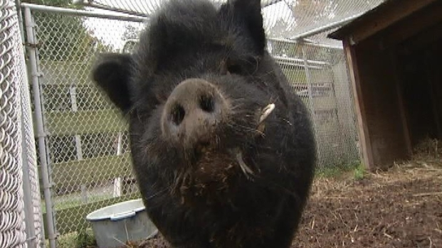[DC] Wandering Pig Needs New Home