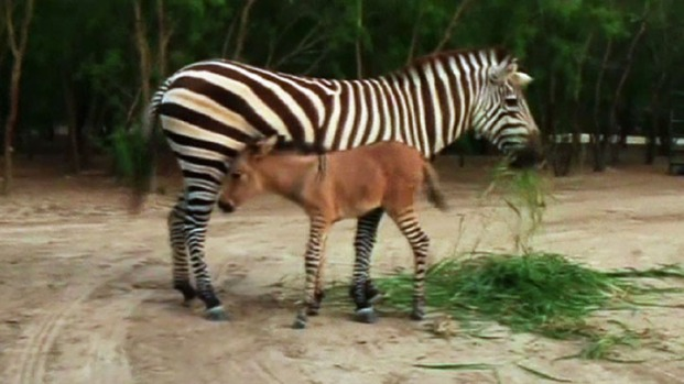 [NATL] Raw: Rare Baby Zonkey Born in Mexico Zoo