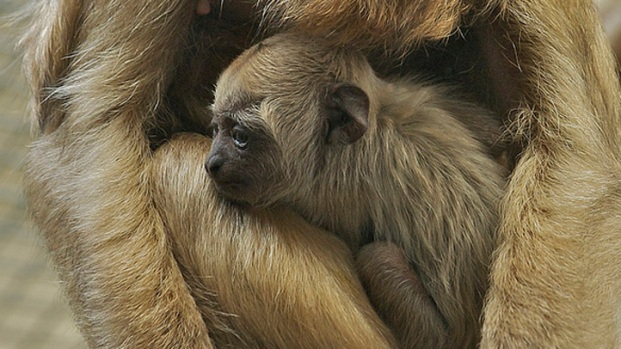 Baby Howler Monkey Far Cuter Than Expected