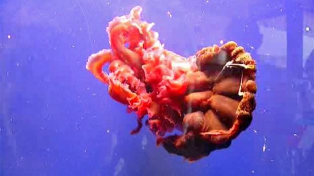 Black Jellyfish Seen in San Diego