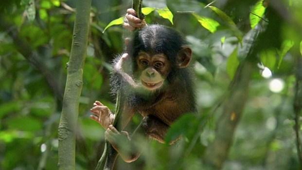"[NATL] ""Chimpanzee"""