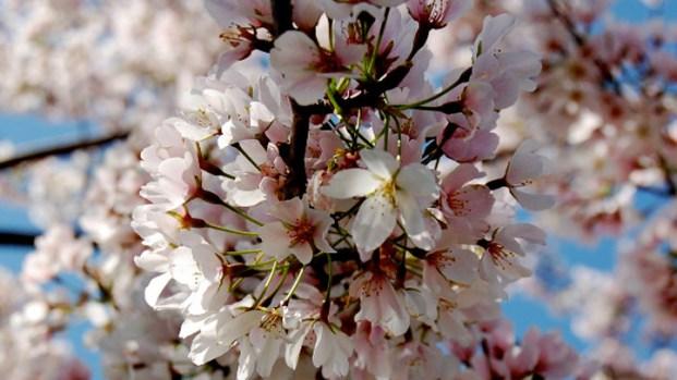 [DC] Your 2011 Cherry Blossom Pics