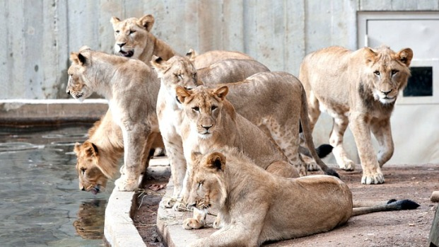 Teen Lion Cubs Looking for Own Place