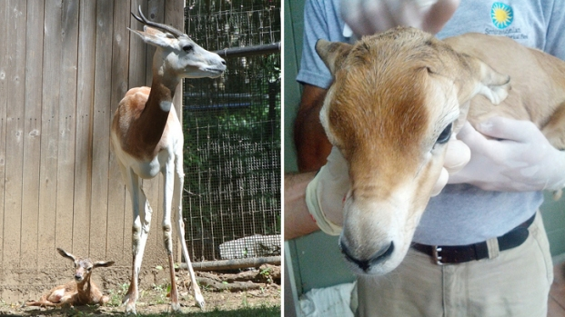 Dama Gazelle Born at National Zoo