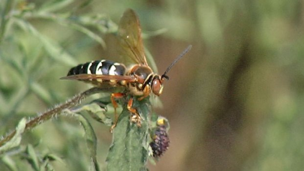 [NATL-CHI] Ecologists Warn: Leave This Killer Wasp Alone