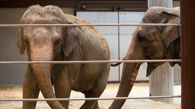 National Zoo's New Elephant Meets the Herd