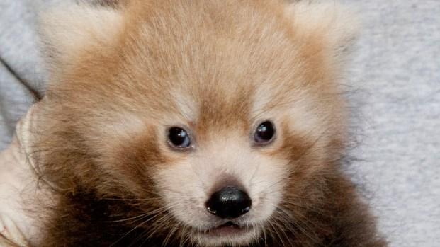 [DC] Red Panda Name Revealed