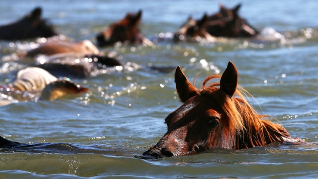 Wild Ponies Swim Across Assateague Channel