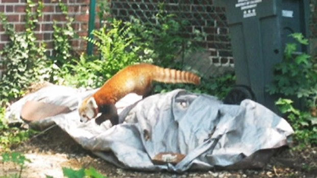 [DC] National Zoo's Red Panda Exhibit Crowded After Rusty's Brief Escape