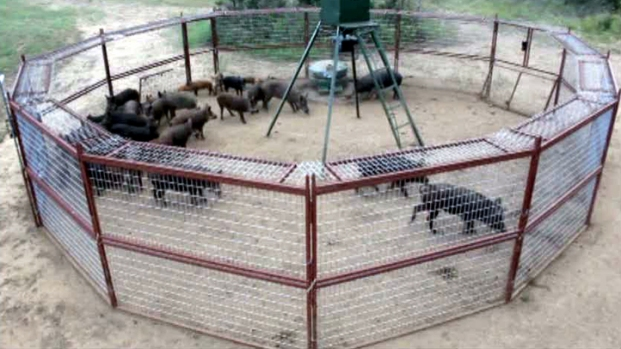 [NATL-DFW] Outsmarting Feral Hogs With Smartphones