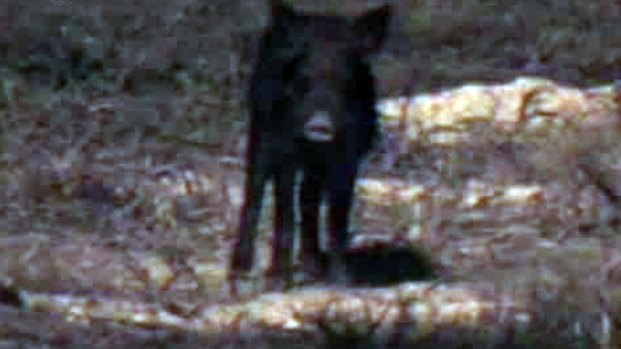 [DFW] Wild Hogs a Problem on Central Texas Highways