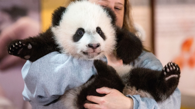Bei Bei Gets Ready for Public Debut