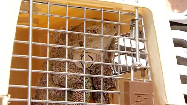 Iguana Finds a Home on Clear the Shelters Day