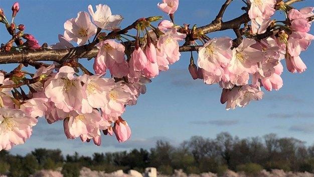 Go Now! Cherry Blossoms Hit Peak Bloom