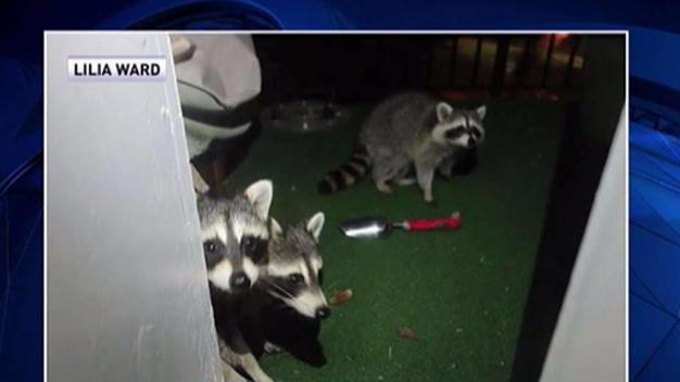 Another Arlington Resident Attacked by Raccoons