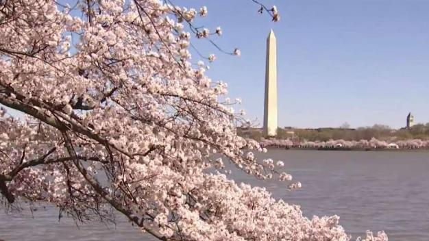 Cherry Blossoms in Last Weekend of Peak Bloom