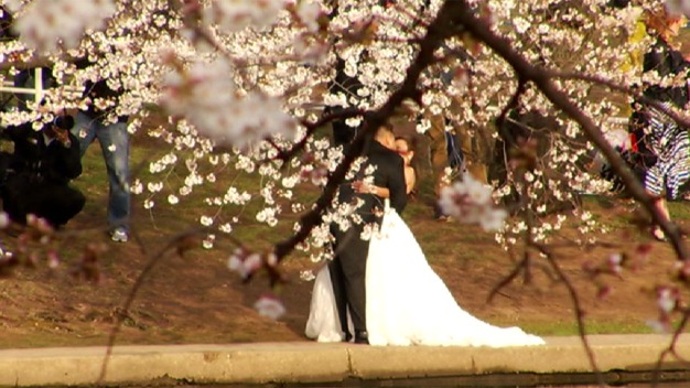 Crowds Pack the Tidal Basin for Cherry Blossoms' Peak Bloom