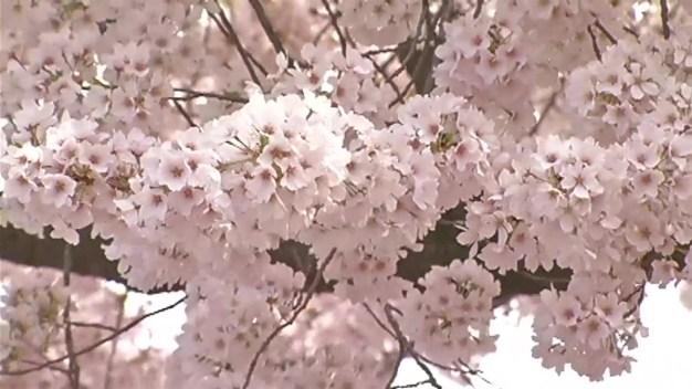 Cherry Blossom Festival Wraps Up