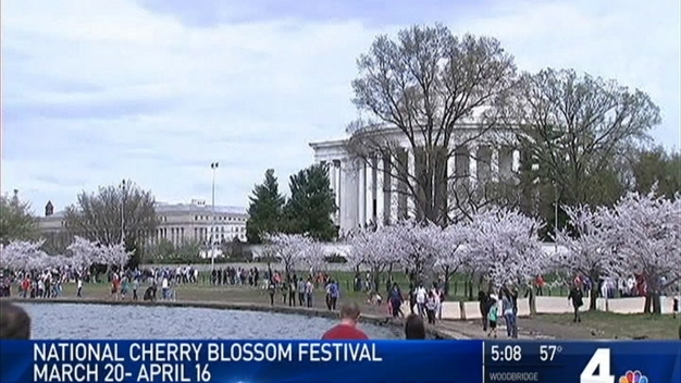 Peak Cherry Blossom Season Dates to Be Announced