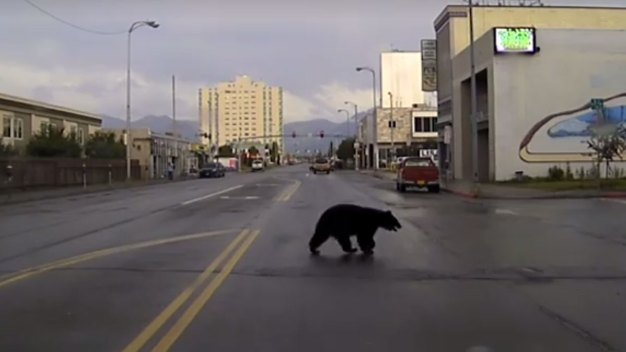 Police Chase Black Bear Through Alaska City