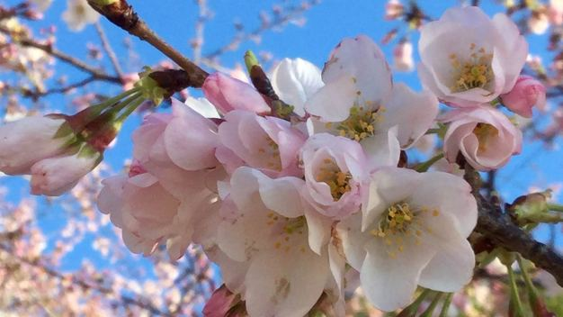 PHOTOS: Your Cherry Blossom Pics