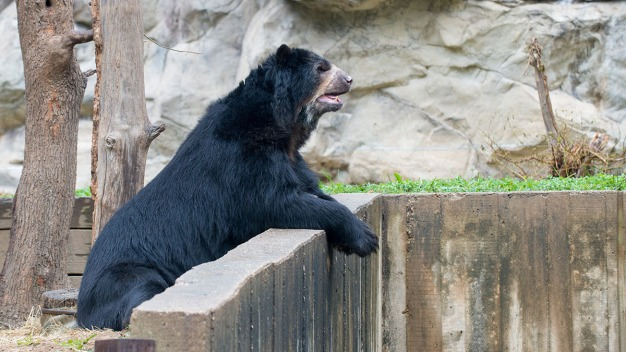 Cisco, Smithsonian's National Zoo Andean Bear, Dies